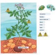 Plant de pomme de terre - magnétique