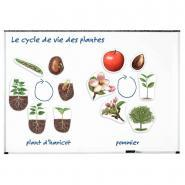 Science plantes magnétiques - Cycle de vie d'une plante