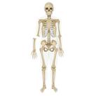 Découvrir le squelette