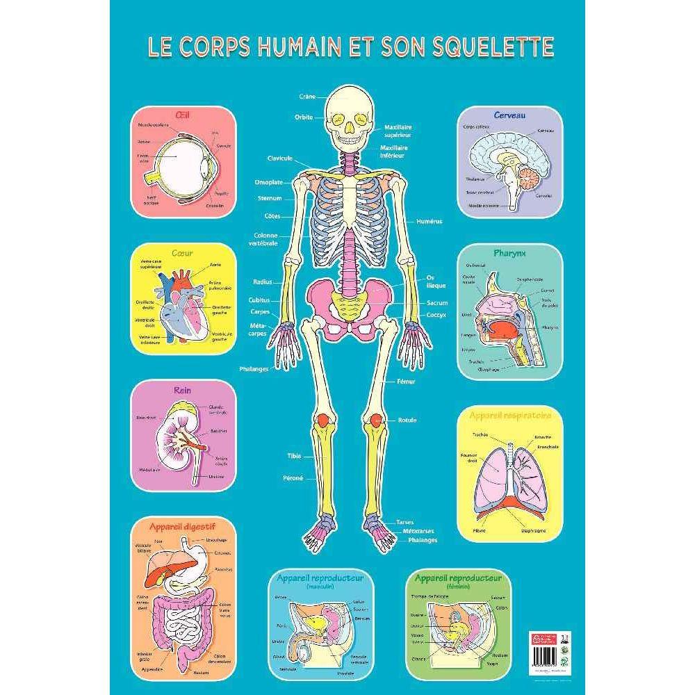 poster p dagogique en pvc 76x52 cm le squelette editions piccolia posters p dagogiques. Black Bedroom Furniture Sets. Home Design Ideas